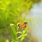 Beautiful Viceroy Butterfly Limenitis archippus near lake by campyphotos