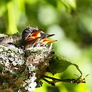 Hummingbird Babies I: Chirps of Sunshine by Steven  Van Gucht