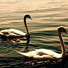 Swimming Swans by oftheessence