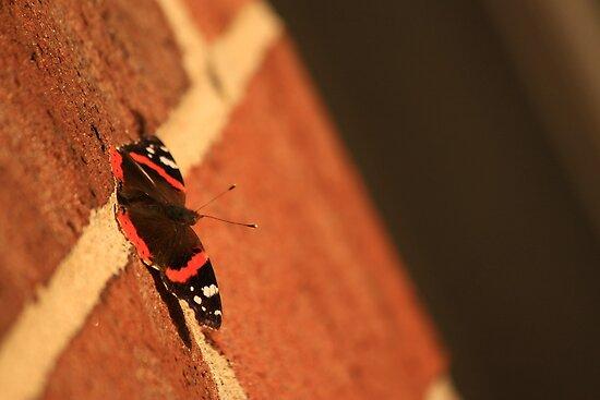 Butterfly on Brick by Adam Kuehl