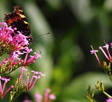 Red Admiral Butterfly by Peter Buchan