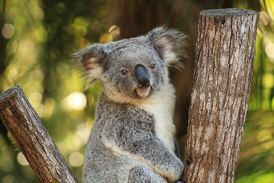 Portrait of a Koala by Ursula Rodgers