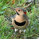 Northern Flicker by Bine