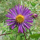 Wild Aster by Ron Russell