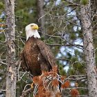 Eagle Eye  by schesnut