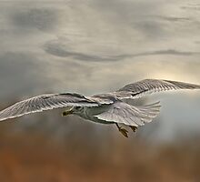 Soaring Ring-billed Gull by KatMagic Photography