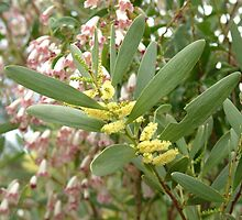 wonga vine & wattle by GrowingWild