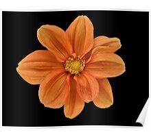 Orange Dahlia. Poster