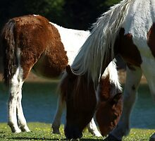 Grazing Horses (12) by photoshot44