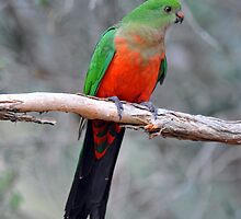 Female King Parrot. Cedar Creek, Queensland, Aust. by Ralph de Zilva