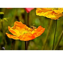 Drawn to the Poppies Photographic Print