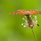 Melitaea athalia by Csar Torres