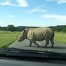 Why did the Rhino cross the road? by Vicki Spindler (VHS Photography)