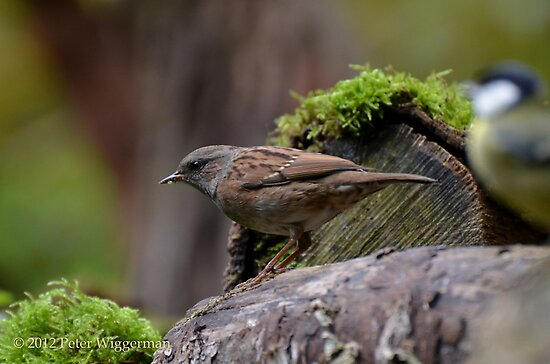 Dunnock by Peter Wiggerman