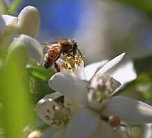 Orange Blossom Bee by yolanda