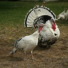 White Turkeys by Denise Dobie