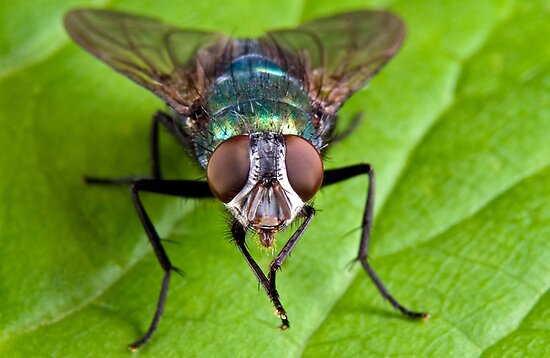 Bluebottle Fly by Keld Bach