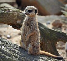 Meerkat by bobbykim666