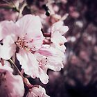 Cherry Blossoms by Crystal Potter