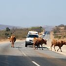 Cows defying the authorities! by gogston