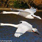 mute swan flight by Steve Shand