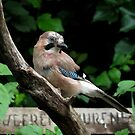 Jay by Peter Wiggerman