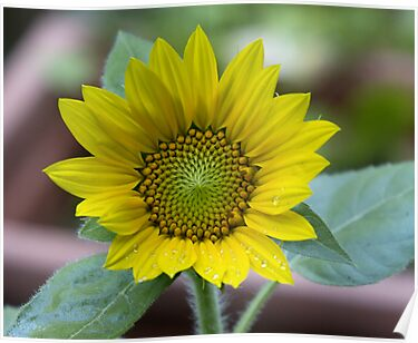 Sunflower #2 - All Grown Up - for Angie by Barry Doherty