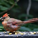 Cardinal with Sunflower Seed by Barry Doherty