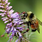 Tri-Colored Bumblebee by Gary Fairhead