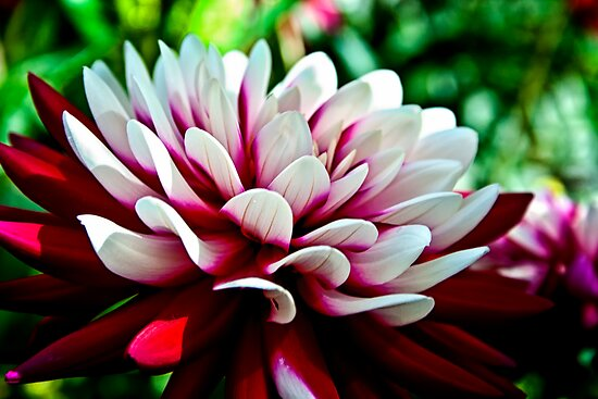 Dahlia Flower by Vicki Field