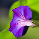Morning Glory by Kim Barton