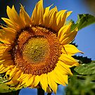 Sunflower by Kim Barton