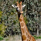 African Giraffe  by Luke Donegan