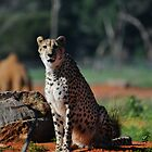 African Cheetah by Luke Donegan