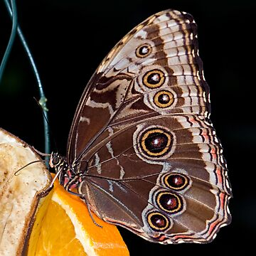 Blue Morpho Feeding by Keld Bach