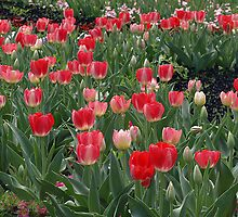Pink Tulips at Floriade - Canberra  by Bev Pascoe