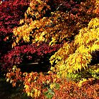 Acer Trees in Autumn by John Dalkin