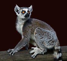 Curious Lemur by Krys Bailey