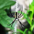 Orb Weaver Spider by sunrisern