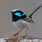 "Superb Fairy-wren  "" Male"" by DIZZYHEIGHTS"