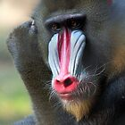 Mandrill by Rob Lavoie