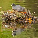 Common Coot  by Margaret S Sweeny