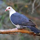 White Headed Pigeon. Cedar Creek, Queensland, Australia by Ralph de Zilva