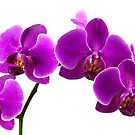 Orchid by BlinkImages