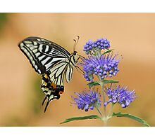 purple and swallowtail Photographic Print