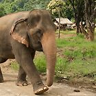 Asian elephant by Paris Franz