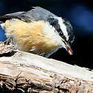 Nuthatch Eating a Termite by Carl Olsen
