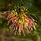 Grevillea Winpara Gold #2 by Elaine Teague