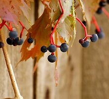Hanging Grapes by Karen Jayne Yousse