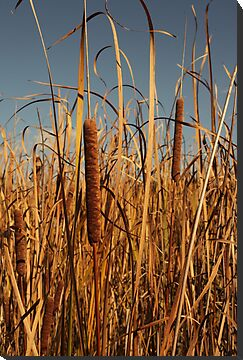 Cat Tails by Thomas Murphy
